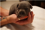 Picture of English Staffordshire Bull Terrier