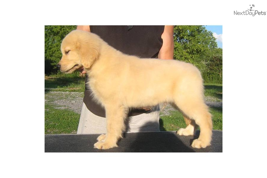akc-registered-golden-retriever-puppydog-golden-retriever-puppy