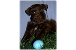 Picture of *Gabe:  AKC Toy Miniature Schnauzer: Chocolate