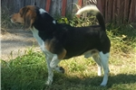 Picture of Outstanding AKC Beagle