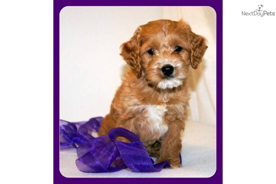 Cockapoo puppy for sale near lincoln nebraska 0b48e29a 3431
