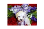 Picture of a Bichon Frise Puppy