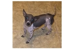 Picture of an American Hairless Terrier Puppy