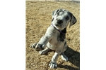 Picture of AKC Great Dane Puppy, lovely girl!