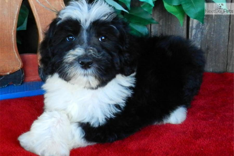 Sheepadoodle Puppy For Sale Near Abilene Texas 71396e16