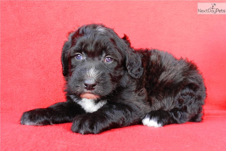 Sheepadoodle Puppy For Sale Near Abilene Texas 0cd1c06c