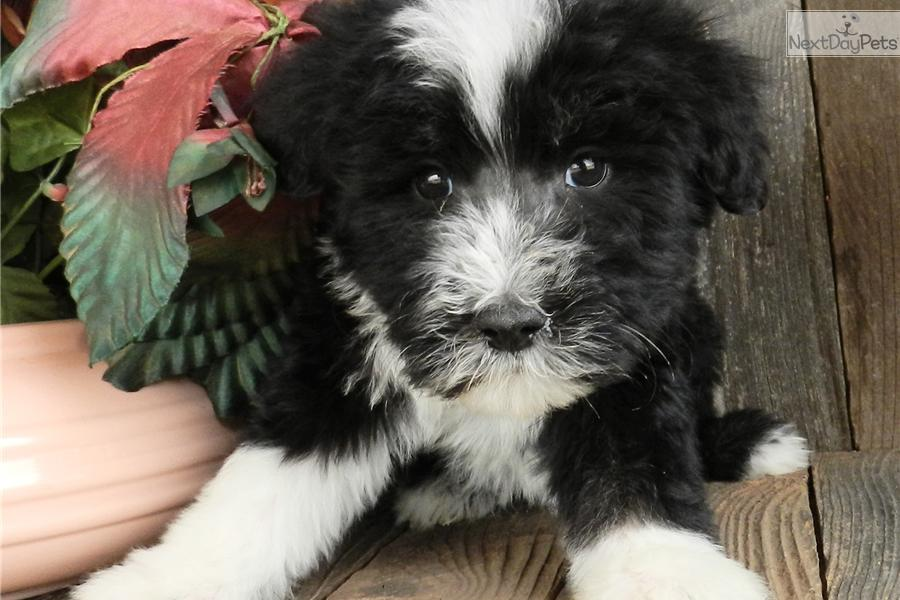 meet dallas sheepadoodle a cute sheepadoodle puppy for
