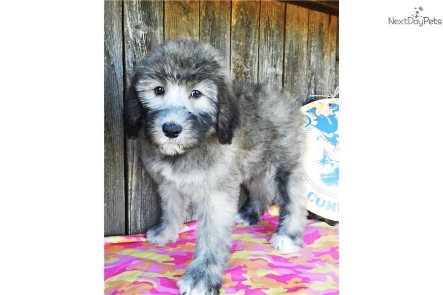 Sheepadoodle Puppy For Sale Near Abilene Texas 7e11d237