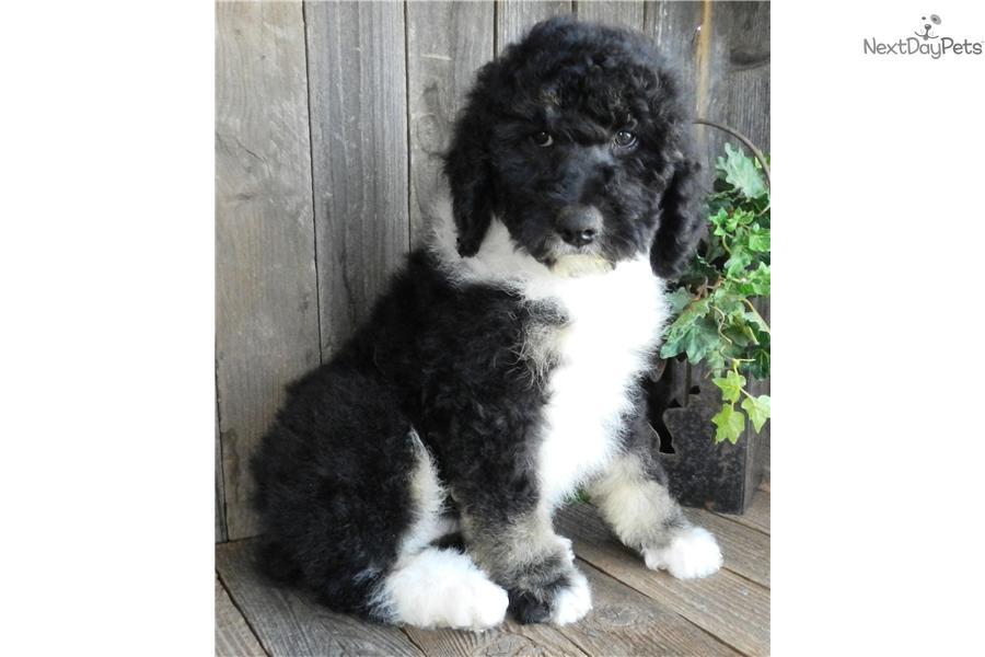 Sheepadoodle puppy for sale near Abilene, Texas | 42ebaa0f ...