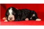 Picture of a Sheepadoodle Puppy