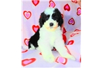 Sheepadoodle for sale