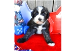 Olde English Sheepdog for sale