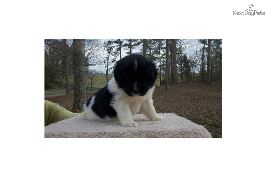 Akc Rottweiler Puppies For Sale For Sale In Huntsville Alabama All ...