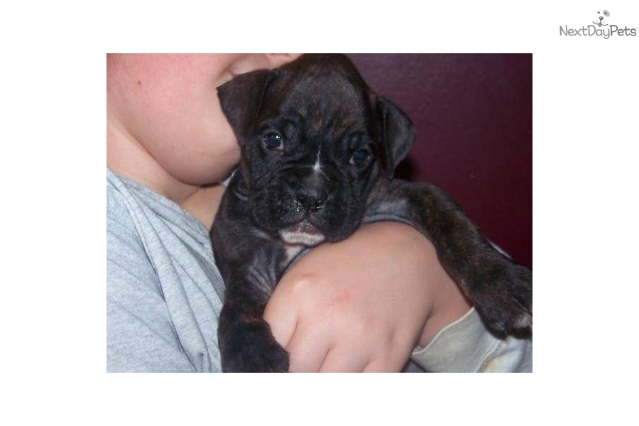 Boxer Dogs For Sale Cleveland Ohio