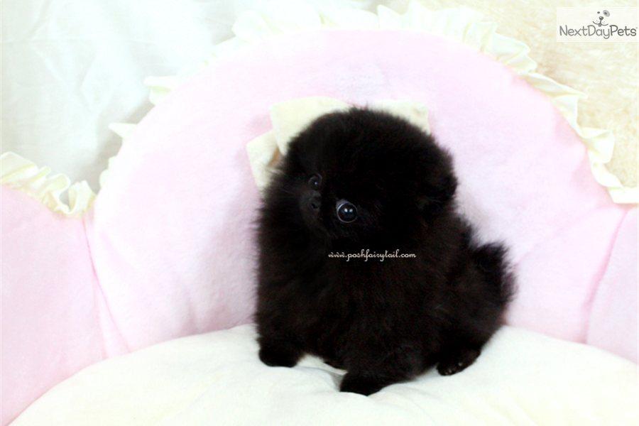 Pomeranian Puppy Picture F Ce Fa Ab Dacdbfa
