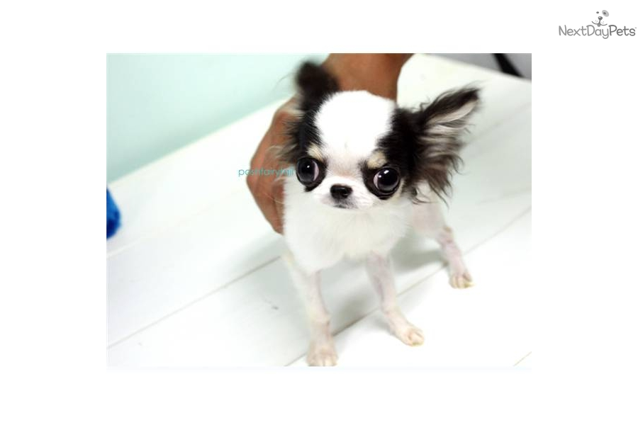 Chihuahua Puppy for Sale: poshfairytail tri color long coat chihuahua ...