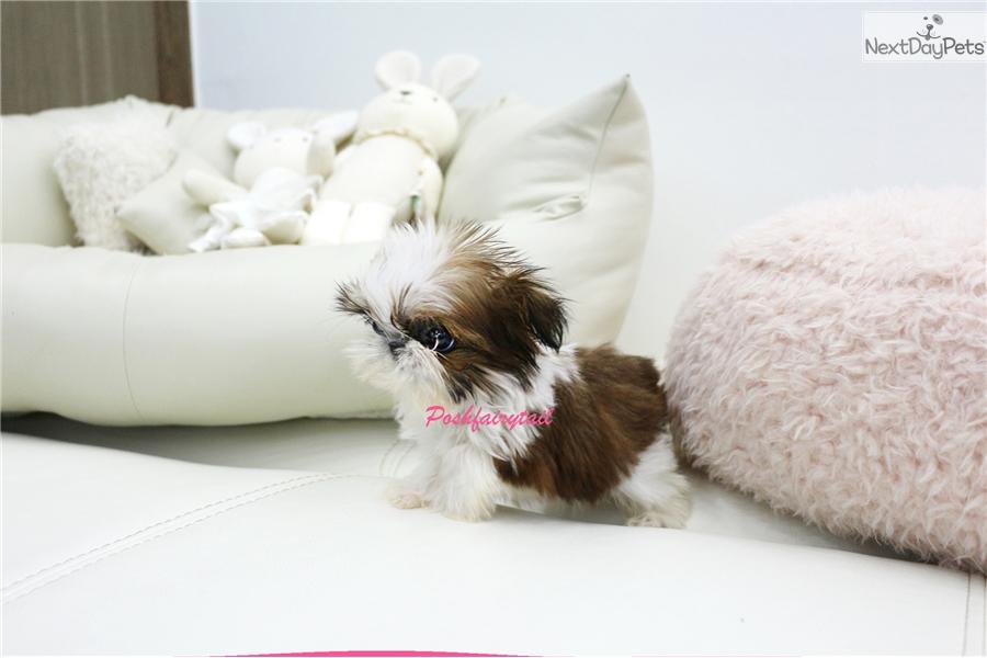 Lil Gianna Shih Tzu Puppy For Sale Near Los Angeles