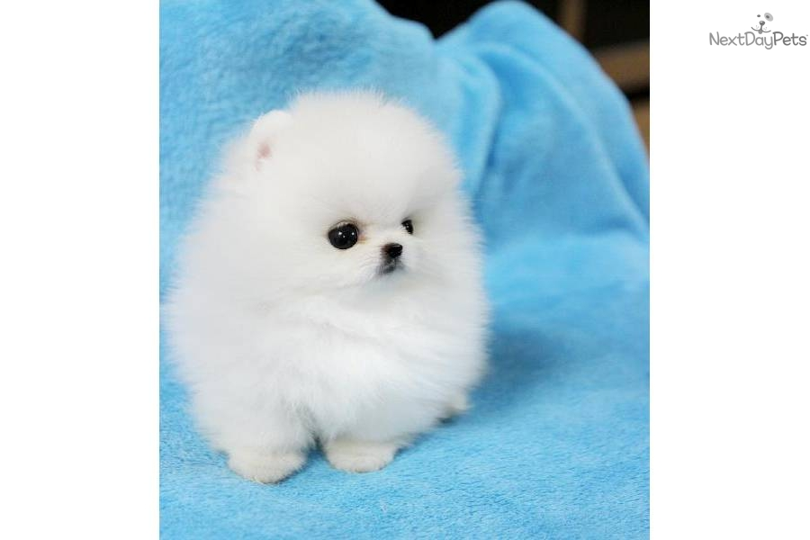 White Teacup Pomeranian Puppies | teacup white pomeranian ...