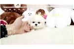 Picture of micro tiny Bichon girl Lil fella
