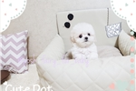 Picture of Tiny Teacup Bichon fries girl cocomina