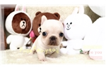 Picture of super tiny French Bulldog
