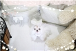 Picture of fully grown micro maltese Je t'aime