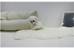 Picture of cute little teacup maltese girl Minky