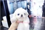 Picture of blue eyes Pekingese girl Baby Precious