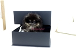 Picture of  micro teacup pomeranian Baby Tanya
