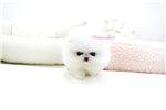 Picture of micro white Pomeranian girl  Phoebe