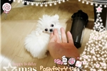 Picture of world smallest  Micro poodle boy GUCCI