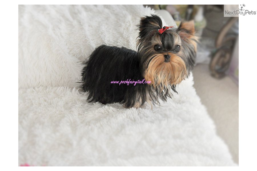 Yorkshire Terrier - Yorkie puppy for sale near Los Angeles ...
