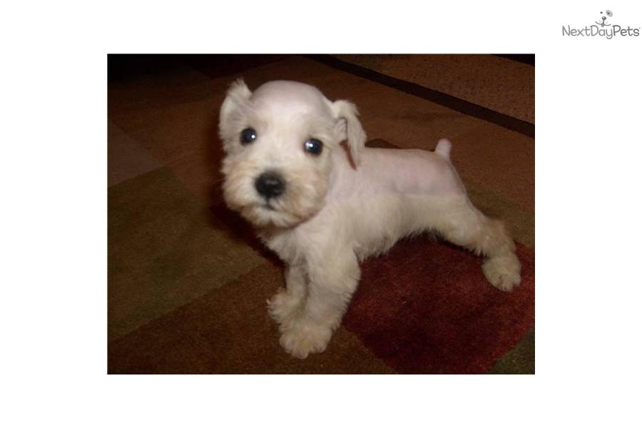 mini-schnauzer-akc-white-maledog-schnauzer-miniature-puppy-6c1c3438 ...