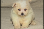 Keira | Puppy at 6 weeks of age for sale