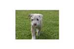 Picture of an American Pit Bull Terrier Puppy