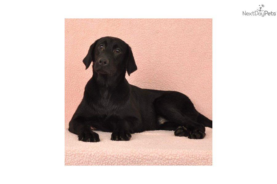 lame duck labrador retriever puppies labrador retriever tattoo design bild. Black Bedroom Furniture Sets. Home Design Ideas