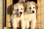 Great Pyrenees Male | Puppy at 13 weeks of age for sale