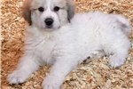Picture of Great Pyrenees Male