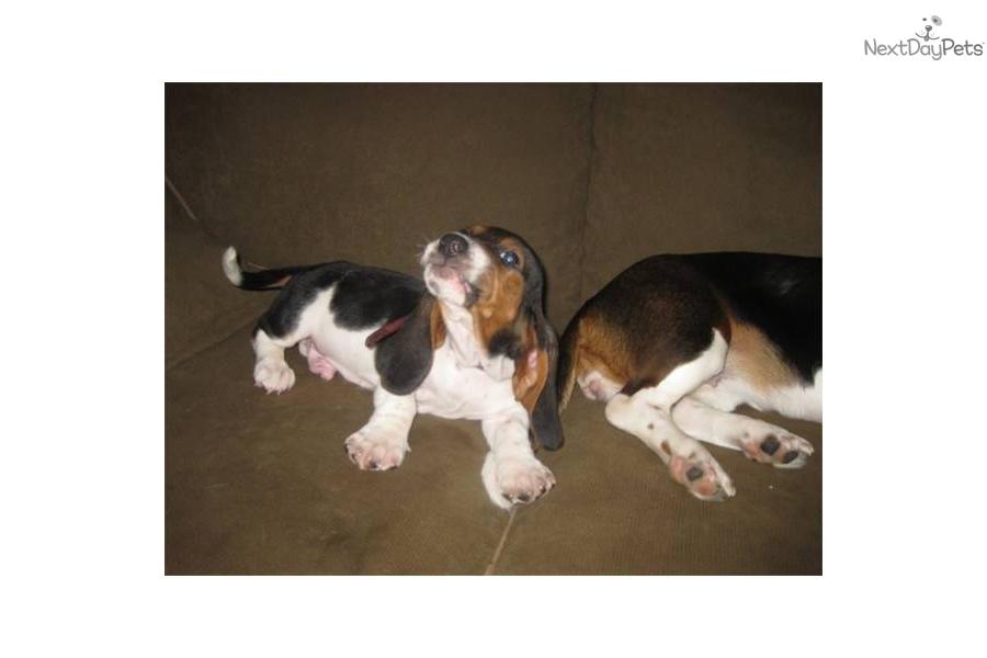 Image Seo All 2 Basset Hound Puppies Post 11