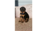 Picture of Airedale Puppies Ready in March.Reserve yours now
