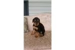 Picture of AKC Airedale Terrier puppies for February