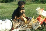 AKC Airedale Terrier Puppies OHIO, WV, KY | Puppy at 3 weeks of age for sale
