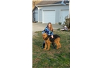 Picture of Airedale Terrier Females