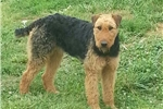 Picture of AKC Airedale Terrier Puppies OHIO, WV, KY