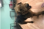Picture of  male Airedale