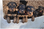 Airedale pups | Puppy at 5 weeks of age for sale