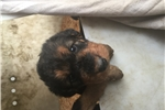 Picture of Airedale pups