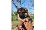 Picture of German Shepherd Big Boned  Puppy