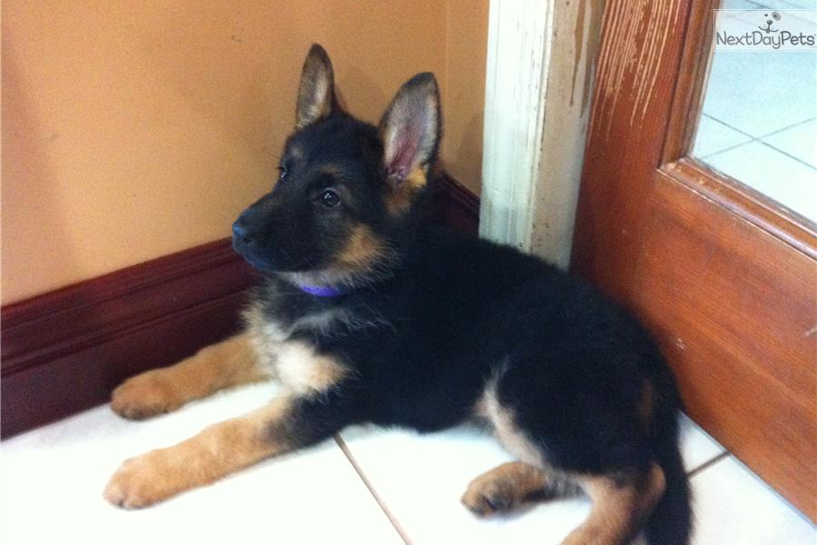 meet purple collar a cute german shepherd puppy for sale champ 1400