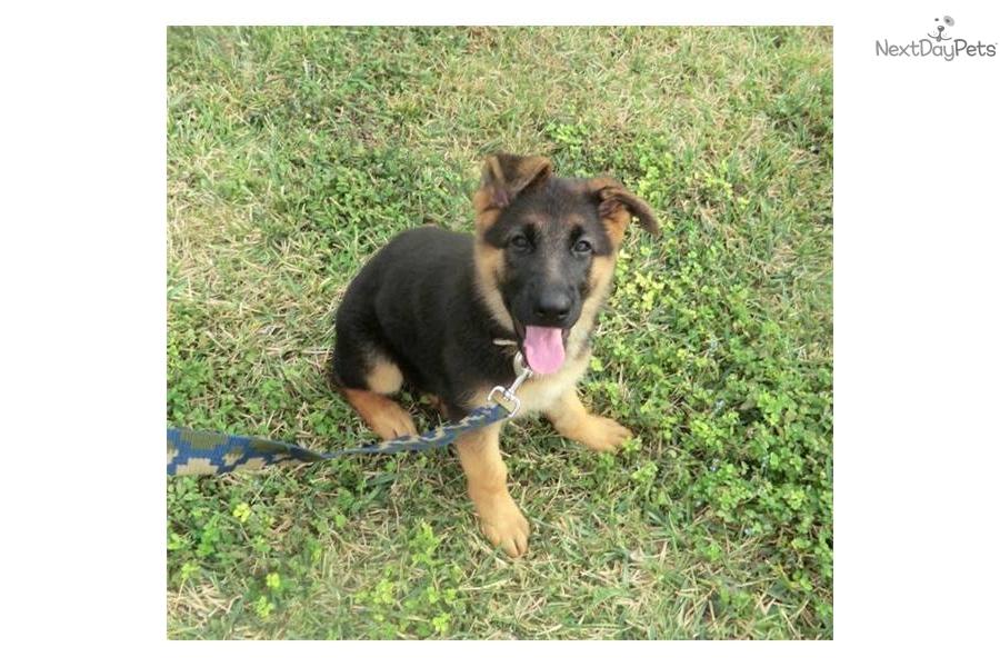 purple puppy va german shepherd